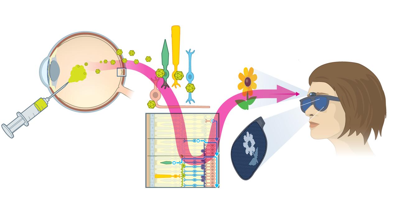 Molekulare Lichtschalter – Zellen mit Licht steuern